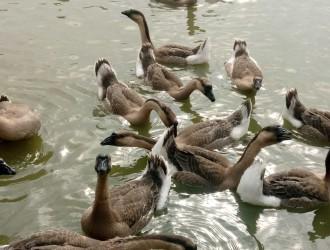全程养鹅的解决方案