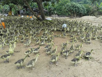 春季小鹅瘟的治疗